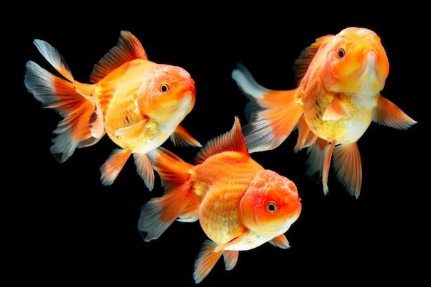 Escolaridade de peixinho dourado em fundo preto