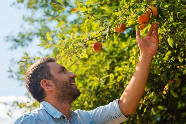 Escolhendo as melhores maçãs. jovem feliz estendendo a mão para a maçã e sorrindo em pé no jardim