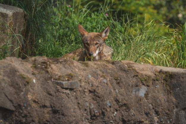 Escondendo wolfe vermelho