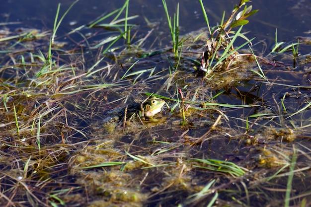 Escondido na água, pântano, sapo verde na primavera