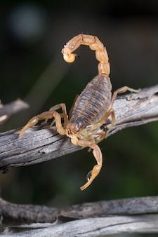 Escorpião buthus (escorpião occitanus)