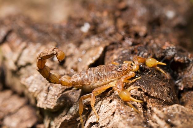 Escorpião buthus