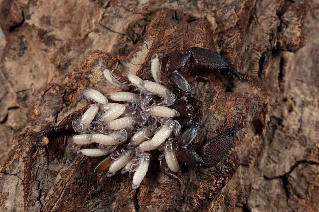 Escorpião chaerilus celebensis fêmea carregando seu novo filhote nas costas