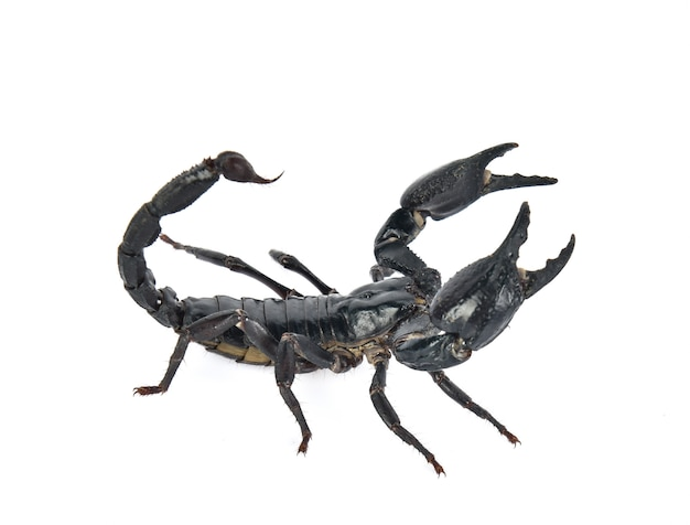 Escorpião em fundo branco