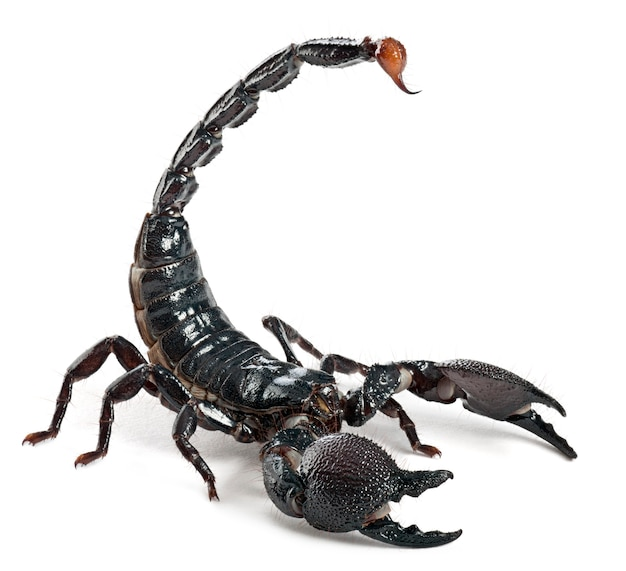 Escorpião imperador - pandinus imperator