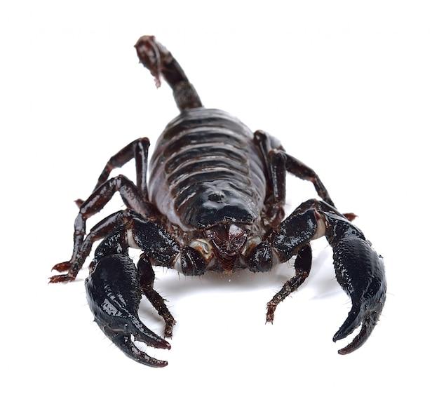 Escorpião isolado no branco com fundo