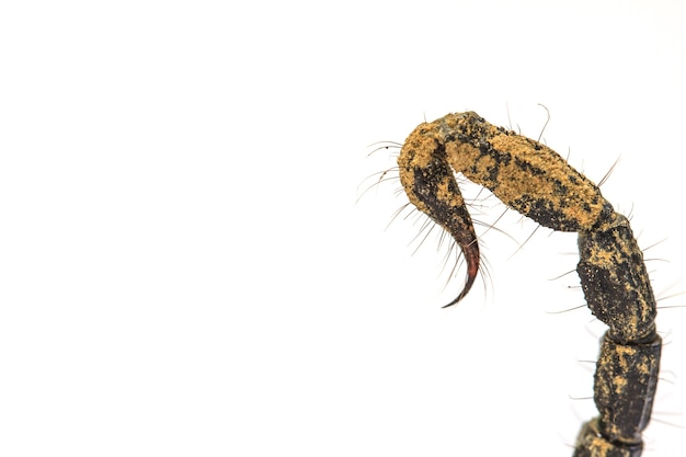 Escorpião (pandinus imperator) em fundo branco