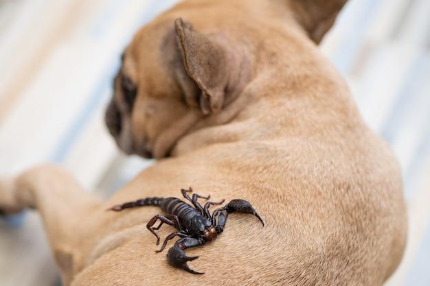 Escorpiões gigantes da floresta rastejando nas costas do cachorro dentro de casa