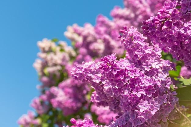 Escova de florescência do arbusto lilás - cor roxa, contra o céu azul.