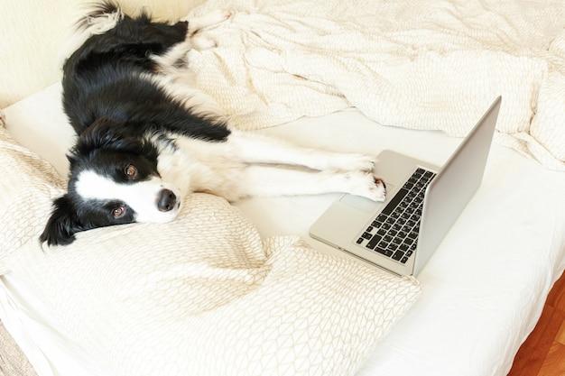 Escritório móvel em casa. cão de cachorrinho bonito do retrato engraçado border collie na cama que trabalha surfando o internet da navegação usando o computador do pc do portátil em casa interno. conceito de quarentena de negócios freelance de vida do animal de estimação.
