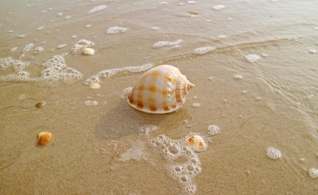 Escudo de mar de concha escocês natural isolado na praia de areia molhada com espuma do mar na luz solar