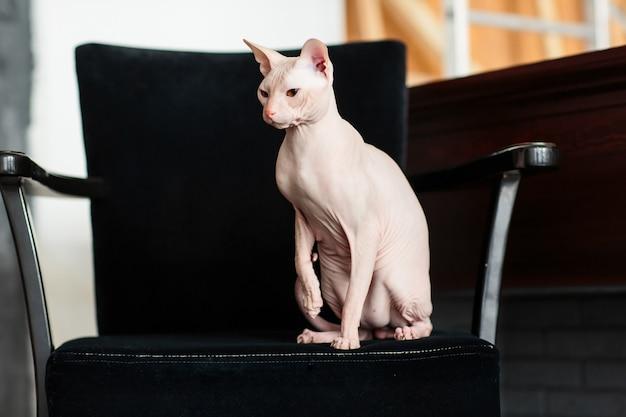 Esfinge de gato sem cabelo dormindo no sofá em um dia ensolarado