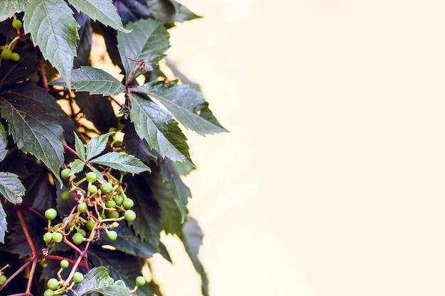 Espaço para textura de parede de texto ao lado do cultivo de uvas silvestres com frutas verdes.