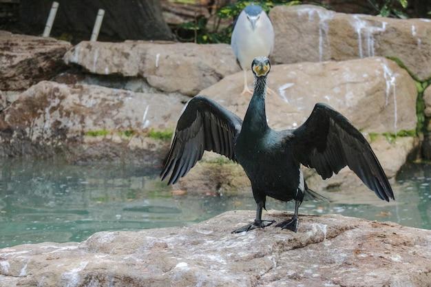 Espalhando o pato preto das asas que está no rio próximo de pedra.