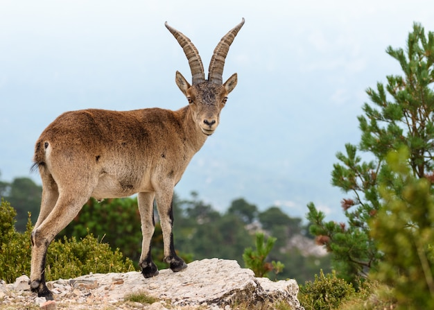 Espanhol ibex capra pyrenaica