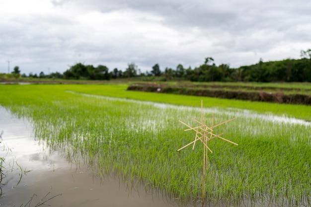 Espantalho e plantas jovens de arroz verde no arrozal da tailândia.