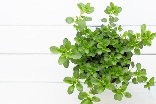 Especiarias verdes frescas isoladas no fundo branco