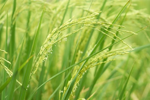 Espécie de arroz de jasmim veja o movimento de balanço do vento