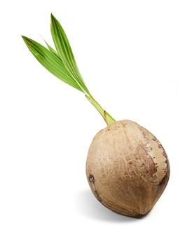 Espécies de coco propagadas brotando do próprio coco