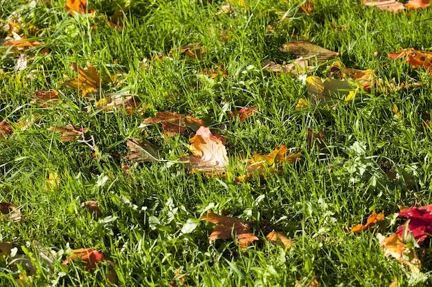 Especificidades e características da temporada de outono no exemplo de plantas caducas, queda de folhas de outono na floresta ou no parque