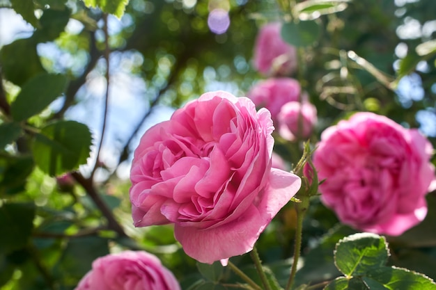 Espessa linda rosa rosa no jardim.