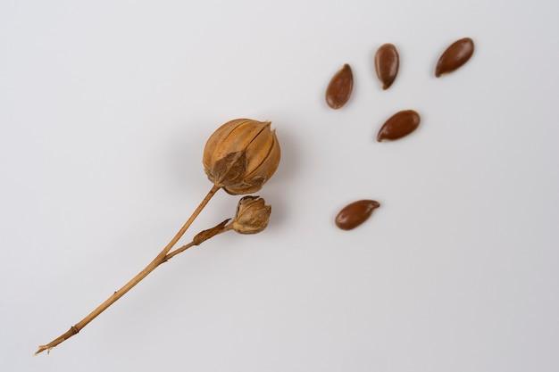 Espiga de linho em fundo branco caixas de semente de linho madura planta de linho linho seco em um fundo branco