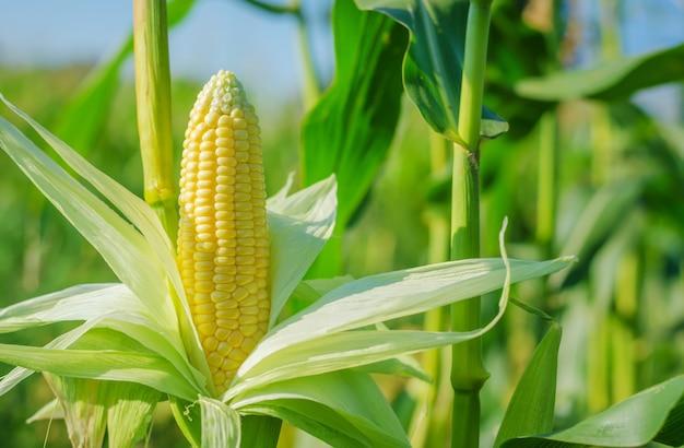 Espiga de milho em um campo de milho no verão antes da colheita.