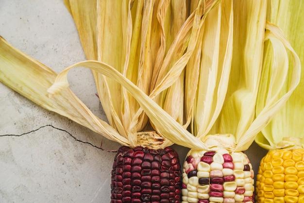 Espiga de milho multicolorida com cascas longas bege