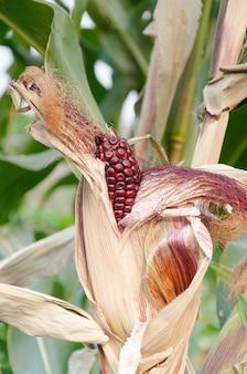 Espiga de milho roxo fresco no talo, pronto para a colheita, milho roxo na agricultura, espigas de milho nos talos no campo
