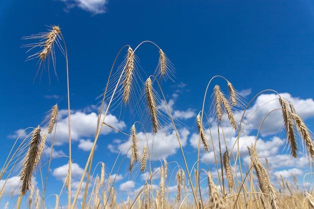 Espiga de trigo dourada contra o foco suave do céu azul, closeup, fundo de agricultura