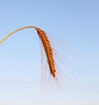 Espiga de trigo, fotografada em close-up contra um céu azul ao pôr do sol. concentre-se em cereais, pouca profundidade de campo.