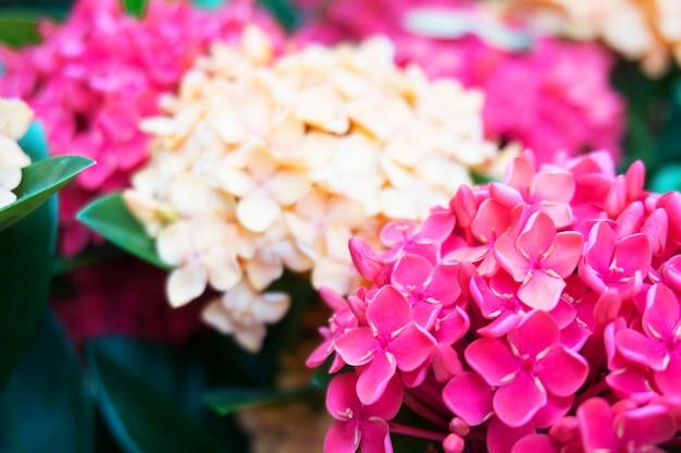 Espiga flor vermelha na natureza (nome comum ixora coccinea, rubiaceae) na primavera.