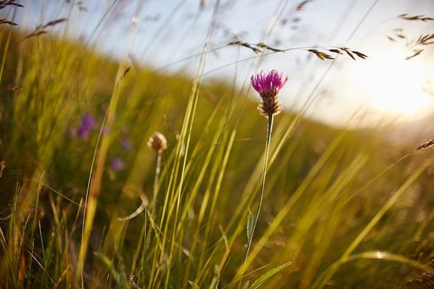 Espigas contra o sol no campo, paisagem rural