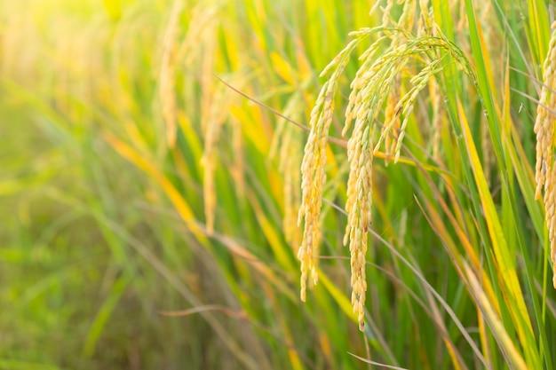 Espigas de arroz dourado na fazenda de arroz asiática