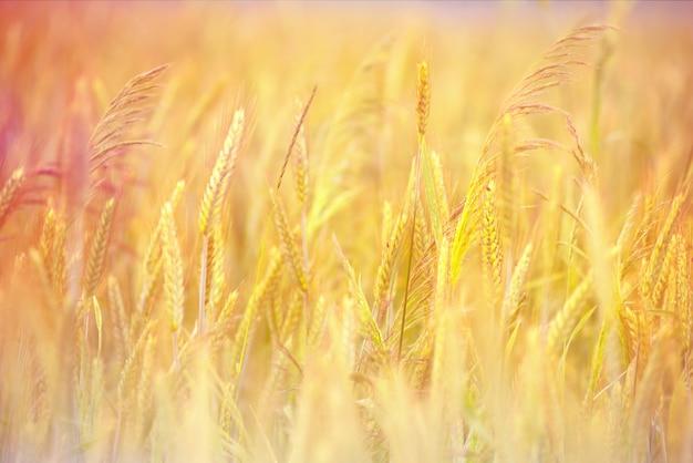 Espigas de centeio douradas com maturação na natureza no campo de verão aos raios de sol do pôr do sol, macro close-up