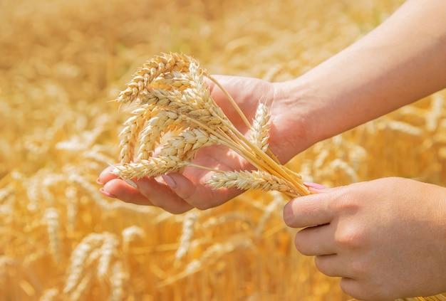 Espigas de menina de trigo nas mãos.