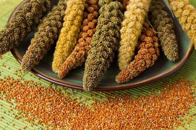 Espigas de milho amarelas, verdes e vermelhas. painço de grão.