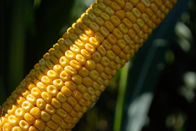 Espigas de milho em um campo cheio de grãos