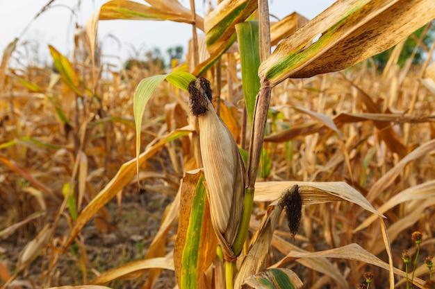 Espigas de milho forragem na plantação de milho