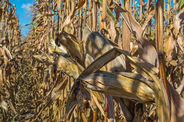 Espigas de milho maduras no campo, cheio de grãos grandes, contra o céu. linhas retas de cultur