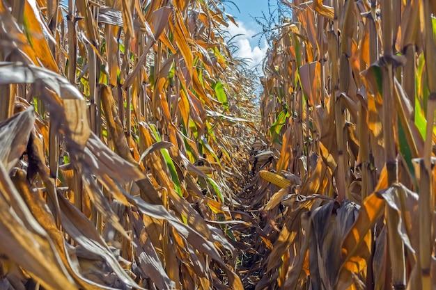 Espigas de milho maduras no campo, cheio de grãos grandes, contra o céu.