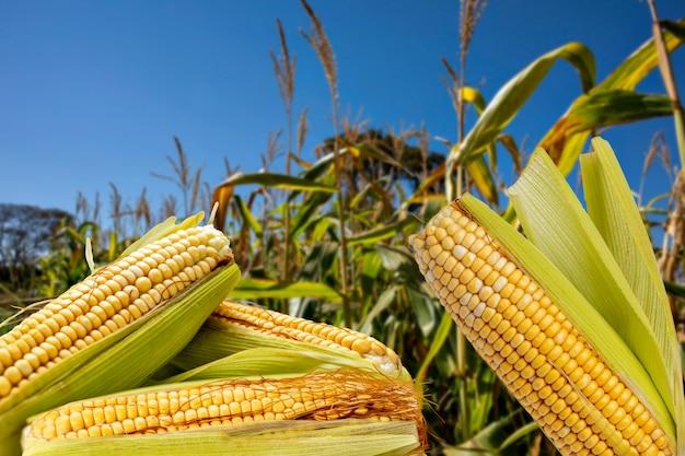 Espigas de milho maduras no meio da plantação.