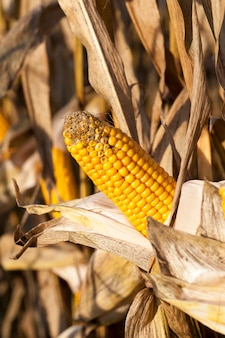 Espigas de milho mofadas e danificadas, safras não colhidas tardias
