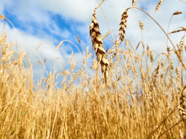 Espigas de trigo douradas, campo com trigo com céu nublado.