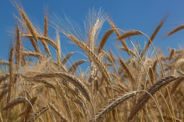 Espigas de trigo douradas contra o céu azul
