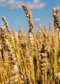 Espigas de trigo douradas em um céu azul, colheita de grãos usada para cozinhar