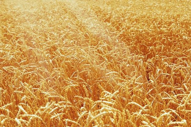 Espigas de trigo douradas, luz do dia. campo de trigo na natureza. conceito de colheita rica. foco seletivo.