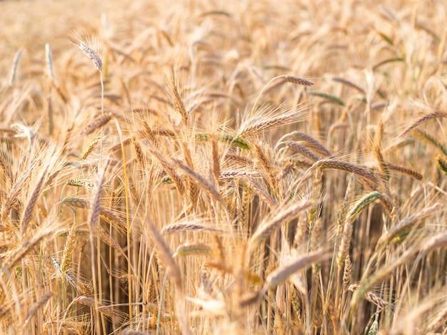 Espigas de trigo douradas no verão no campo.