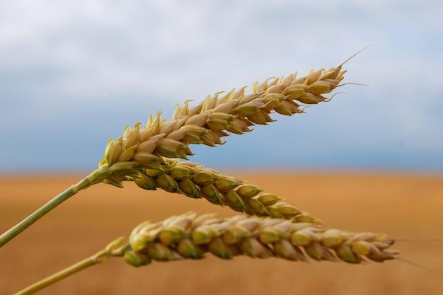 Espigas de trigo em um fundo de campo de trigo e céu.