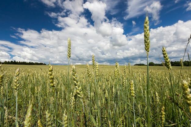 Espigas de trigo imaturas contra o céu azul, paisagem de primavera